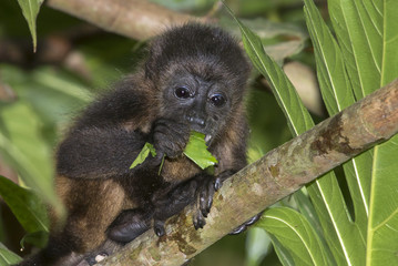 Foto op Aluminium Aap Baby montled howler monkey (Alouatta palliata) eating tree leaves in rainforest canopy, Cahuita national park, Limon, Costa Rica.