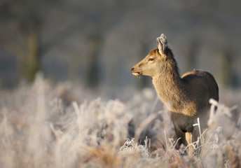 Red deer hind standing a field of frosted grass on a beautiful early winter morning. Animals in winter.