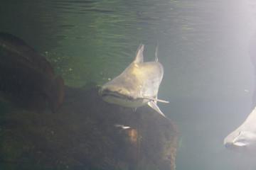 Floats Shark, photo taken under water.