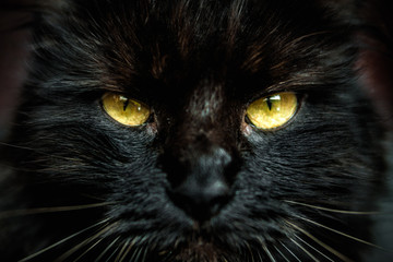 Face of black cat with yellow eyes