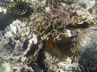 Orange anemonefish hiding in actinia. Undersea landscape photo.