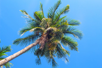 Fluffy palm tree crown on blue sky background. Coco palm top view photo