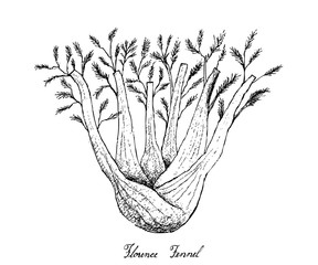 Hand Drawn of Fennel Bulb on White Background