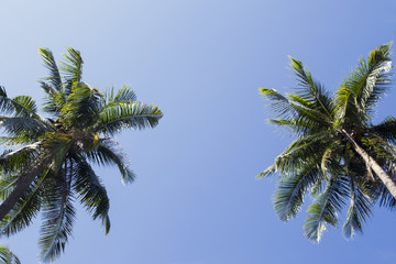 Two palm tree frame on blue sky background. Natural coco palm photo