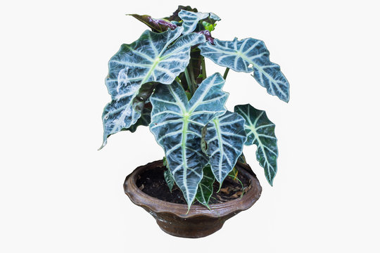 Alocasia Polly inpot on white background or isolated