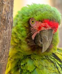 Close-up view of an Military Macaw (Ara militaris)