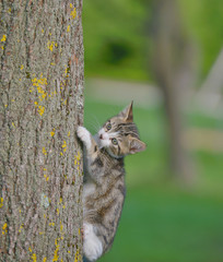 Grey cat climbing a tree