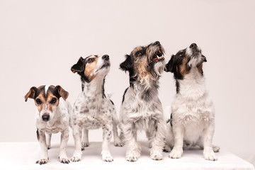 four funny cute little dogs sit side by side in a row - tricolor Jack Russell Terrier