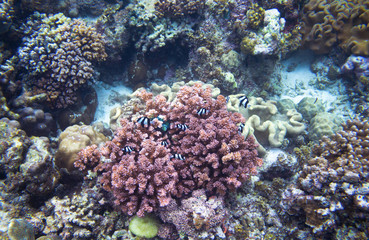 Pink coral and striped coral fish. Undersea landscape photo.