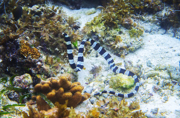 Striped sea snake underwater photo. Dangerous marine animal.