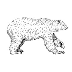 Sketch line art drawing of polar bear. Black and white vector illustration. Cute hand drawn animal.