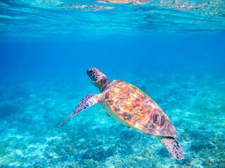 Sea tortoise dives up for breath. Tropical island seashore nature.