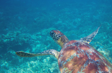 Green sea turtle in tropical seashore underwater. Tropical nature of exotic island.