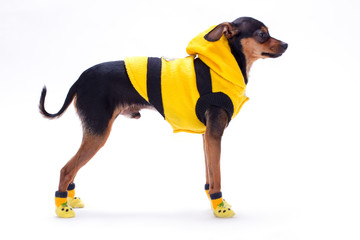 Toy-terrier in fashion clothes, profile view. Russian toy-terrier wearing yellow apparel isolated on white background, studio shot. Modern clothes for dogs.
