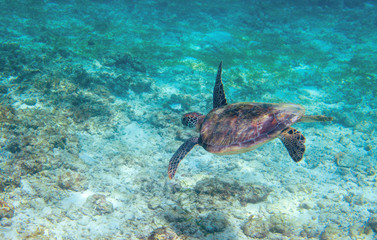 Green sea turtle in turquoise sea water. Tropical nature of exotic island.