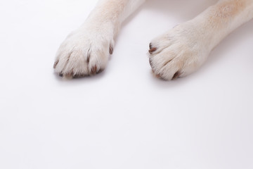 Dogs paws isolated on white background. Blonde labrador retriever dog paws over white background, cropped image.