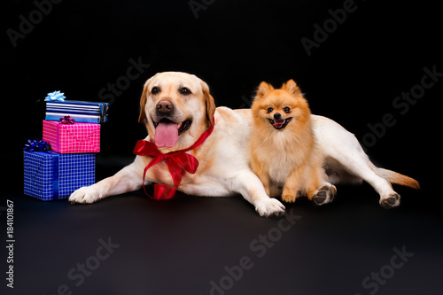 Pomeranian Spitz Labrador And Gift Boxes Two Different Dog Near