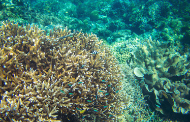 Colorful coral reef and neon blue fish. Undersea landscape photo.