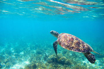 Sea tortoise in turquoise sea shore. Tropical island seashore nature.
