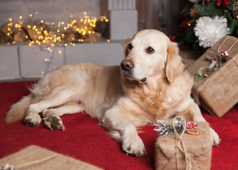 Adorable Golden Retriever Dog near Christmas Tree and Presents on red coat. Pets care concept.