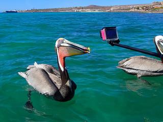 Pelican Sea Bird Poses for Camera
