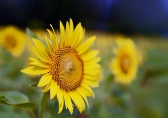 Beautiful Sunflower at Nokonoshima. 30,000 sunflowers bloom in Nokonoshima Island Park right after marigold season.