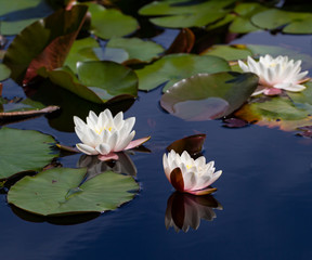 A trio of waterlilies in the summer months in the summer in the nearby park