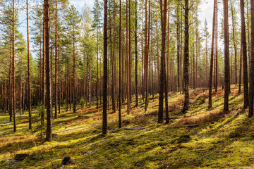 coniferous forest in early autumn
