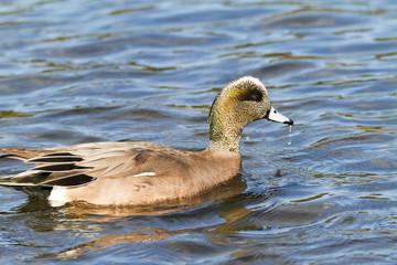 American Wigeon Duck