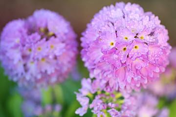 Primrose flower ( Prímula denticulata) . round primrose in water drops on a blurred background. Spring flowers