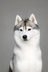 White And Gray Adult Siberian Husky Dog Or Sibirsky Husky