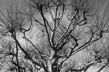 Leafless Winter Tree Against a Blue Sky on the South Bank of The River Thames
