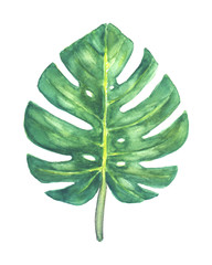 Green tropical Monstera leaf