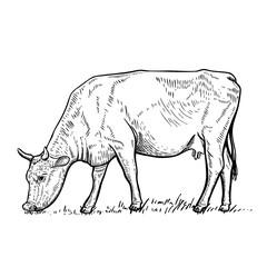 Hand drawn cow illustration on white background.Design elements for logo, label, emblem, sign. Vector illustration