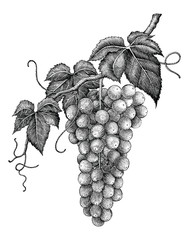 Grape branch hand drawing engraving vintage isolated on white background