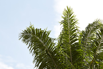 date palm tree with sky