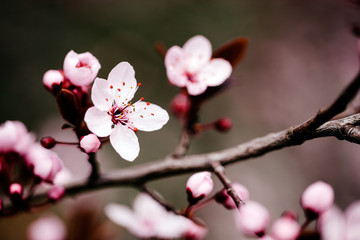 Beautiful cherry blossom in april at spring Fototapete
