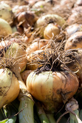 Onions drying after the harvest