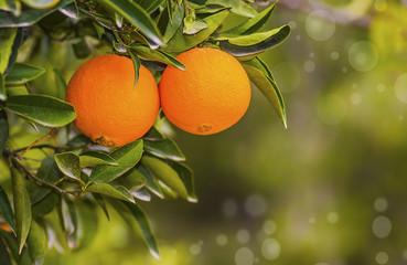 naranjas en el arbol