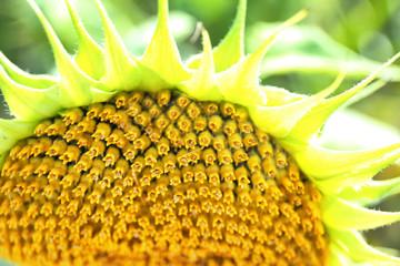 Sunflower with seeds, closeup
