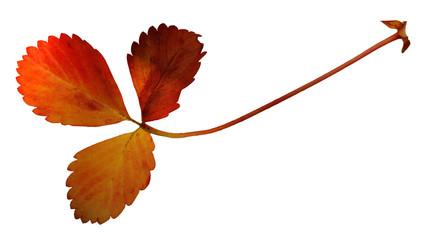 Trifoglio autunno fondo bianco