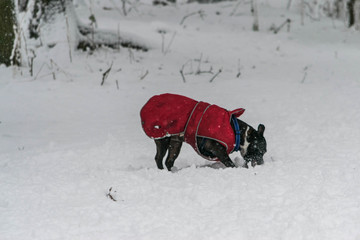 dog play in snow in a heavy snowy day.