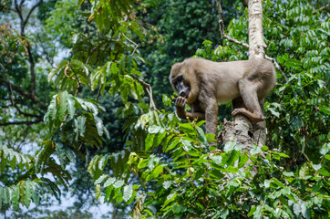 Drill monkey climbing tree and feeding on berries in rain forest of Nigeria