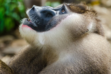 Portrait of large drill monkey alpha male in rain forest of Nigeria