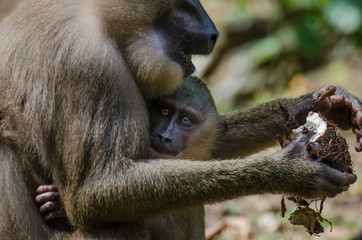 Drill monkey baby in arms of mother in rain forest of Nigeria