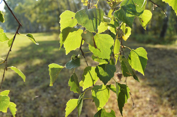 Green birch leaves on the branch in the foreground in summer Sunny day