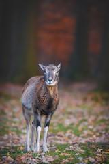 Mouflon in Fall Forest