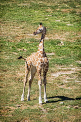 Cub of Rothschild's giraffe