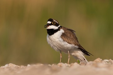 Charadrius dubius little-ringed plover. Little bird on riverside in sunset. Cute little water bird.