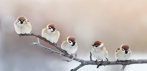 Wall Mural - five funny little birds sparrows sitting on a branch in winter garden, hunched